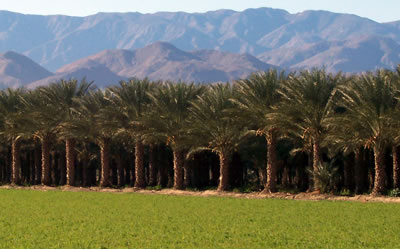 Date Palm Trees Indio
