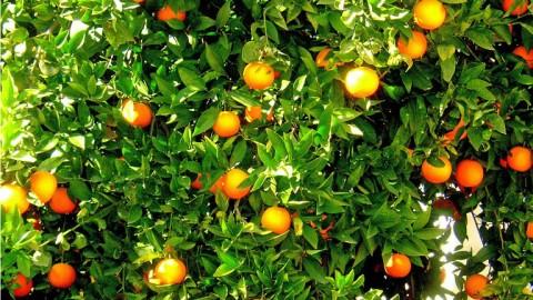 Orange Crops Coachella